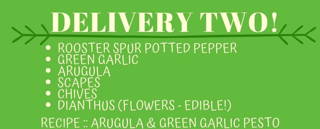 Delivery Two! (Recipe: Arugula & Green Garlic Pesto)